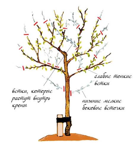 какие ветки стоит обрезать на дереве