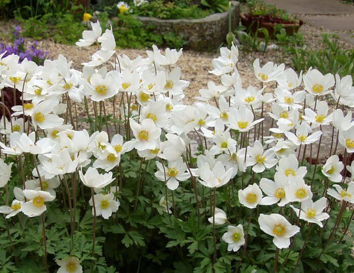 Белые анемоны
