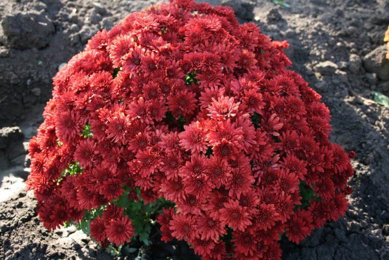 Червоні хризантеми