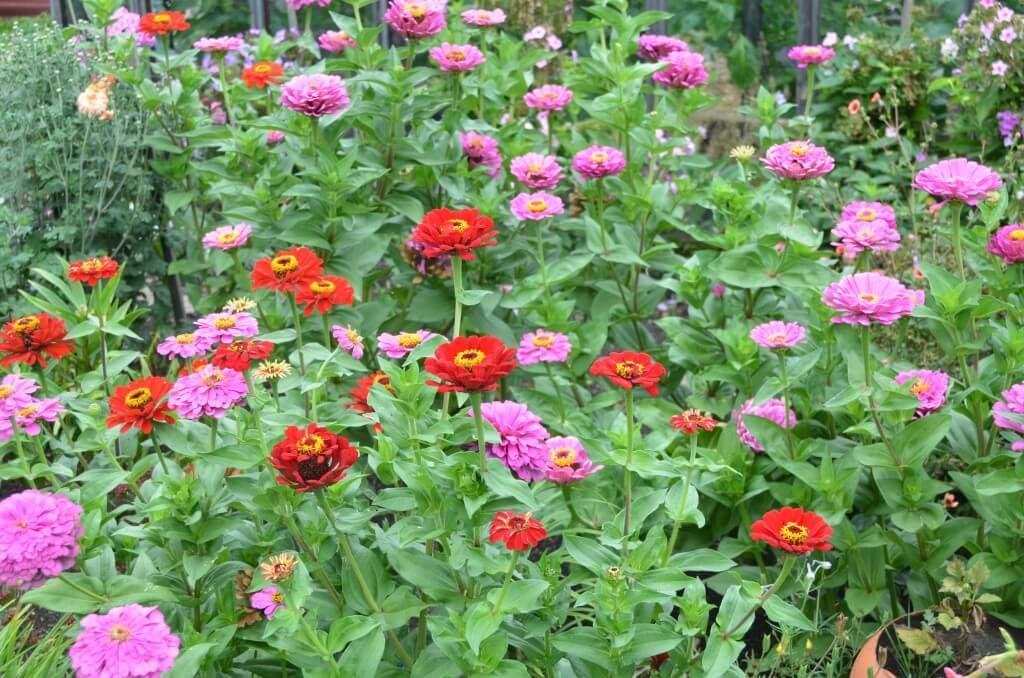 многолетние цветы преимущества