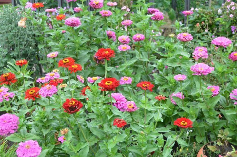 багаторічні квіти переваги