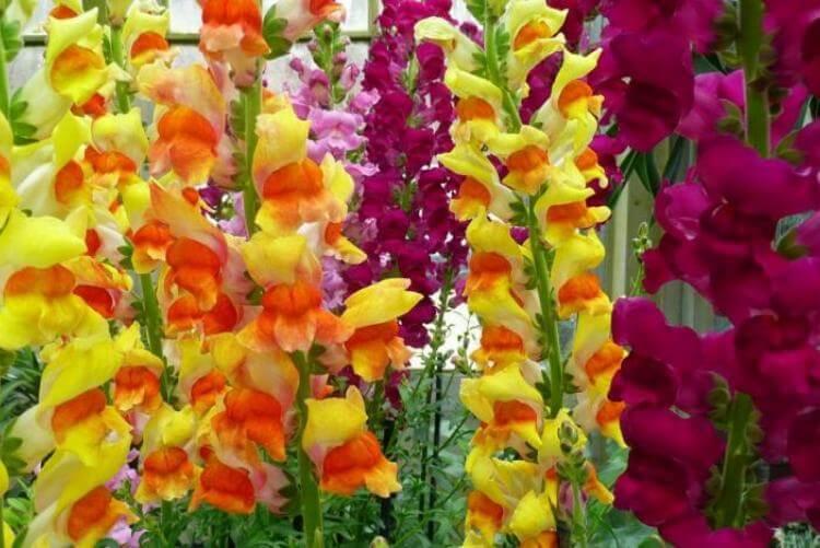 Разноцветные гладиолусы