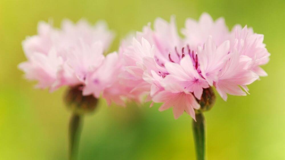 Розовые васильки