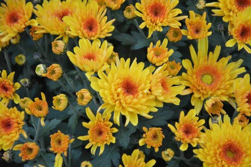 Желтые хризантемы