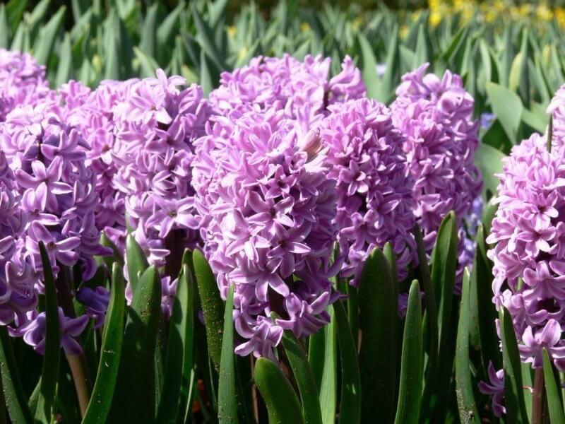 фіолетові гіацинти