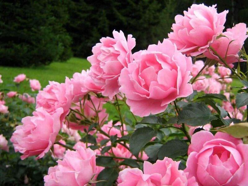 півонії рожеві