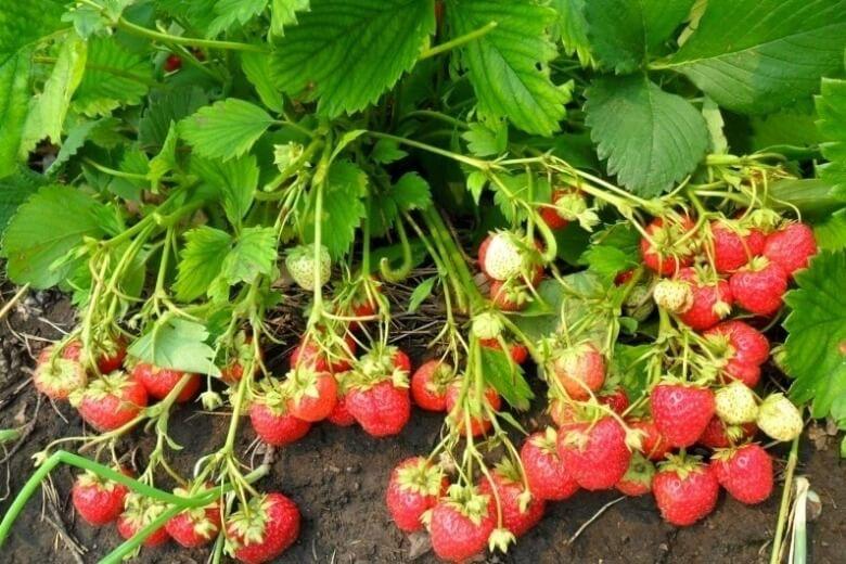 як садити полуницю